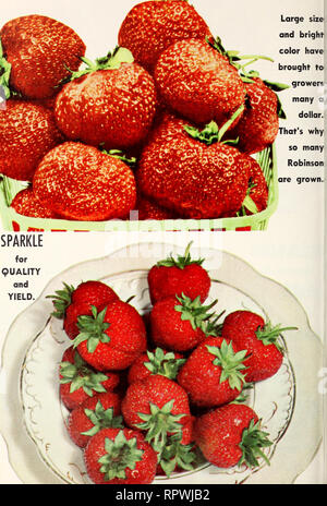 . Allen's 1964 book of berries. Nurseries (Horticulture) Maryland Salisbury Catalogs; Nursery stock Maryland Salisbury Catalogs; Strawberries Maryland Salisbury Catalogs. ROBINSON —GOOD NORTH —No Good South. Please note that these images are extracted from scanned page images that may have been digitally enhanced for readability - coloration and appearance of these illustrations may not perfectly resemble the original work.. Allen Co. (Salisbury, Md. ); Henry G. Gilbert Nursery and Seed Trade Catalog Collection. Salisbury, Md. : W. F. Allen Co. - Stock Photo