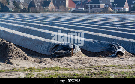 Rows on white asparagus  fields covered with plastic film, begin of new asparagus season on asparagus farm in Netherlands, spring country landscape - Stock Photo