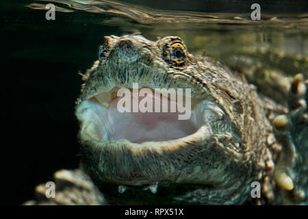 zoology / animals, reptile (reptilia), Common Snapping Turtle (Chelydra serpentina) beneath the water , Additional-Rights-Clearance-Info-Not-Available - Stock Photo