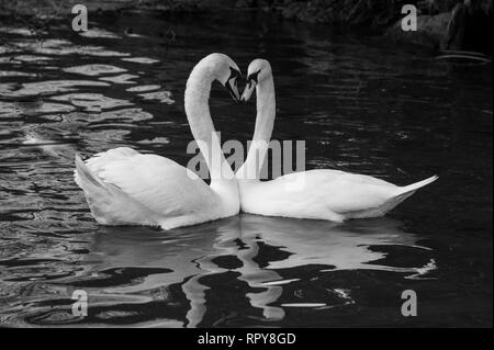 pair of beautiful white swans with elegant necks forming a heart shape in black and white - Stock Photo