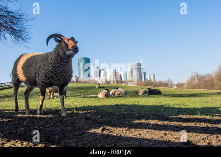 London, UK.  23 February 2019.  UK Weather.  Sheep graze in their paddock at Mudchute Park and Farm close to the skyscrapers of Canary Wharf on a warm day in Docklands.  The capital is forecast to experience more warm temperatures in the next few days.  Credit: Stephen Chung / Alamy Live News - Stock Photo