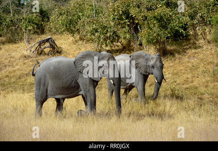 zoology, mammal (mammalia), elephant (Loxodonta africana), Savuti, Chobe National Park, Botswana, Additional-Rights-Clearance-Info-Not-Available - Stock Photo