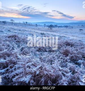 Heavy frost on bracken and a slight mist on the heathland of Woodbury Common, near Exmouth, Devon, England, United Kingdom, Europe - Stock Photo