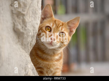 Cute red tabby cat kitten peering curiously from behind a wall, a close-up portrait - Stock Photo