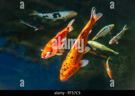 A selection of Koi carp fish swimming in a pond. There are two large golden and black ones and then a silver, yellow and black seller ones - Stock Photo