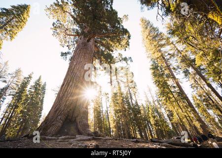 USA, California, Yosemite National Park, Mariposa, sequoias - Stock Photo