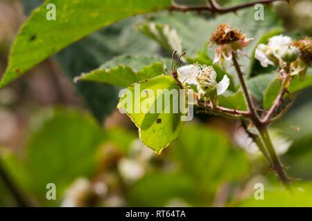 Brimstone Butterfly (Gonepteryx rhamni) feeding on a bramble bush. - Stock Photo