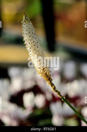 A flower spike of Bulbinella Cauda-Felis - Stock Photo