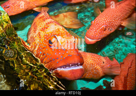 Red Snapper fish (Lapu-Lapu) caught around Cuyo island, Palawan, Philippines, transported to Manila, to be sold expensive as live fish to restaurants - Stock Photo