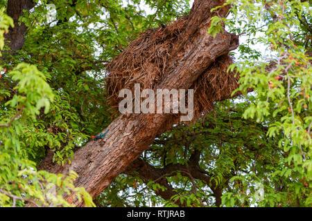 Kenyan rock agama (Agama lionotus), Tanzania, East Africa - Stock Photo