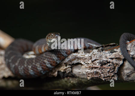 Juvenile Northern Water Snake (Nerodia sipedon) basking on a branch - Stock Photo