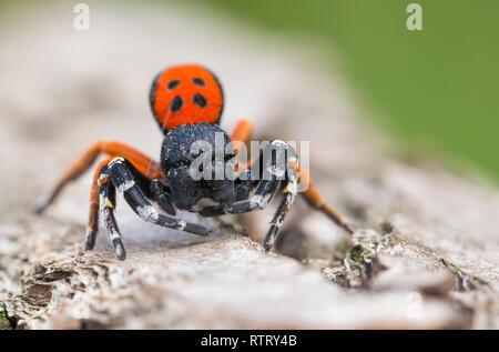 Wildlife macro photo of a male Ladybird spider Eresus moravicus - Stock Photo