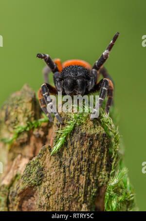 The Ladybird spider Eresus kollari in defence position - Stock Photo