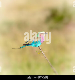 Lilac-breasted roller,  Coracias caudatus, perched on a branh in the Masai Mara, Kenya. Neutral bokeh background with space for text. - Stock Photo