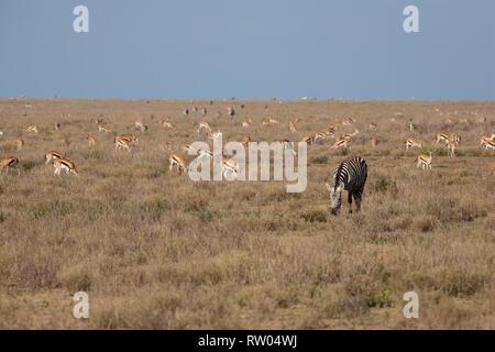 A Plains Zebra  (Eqqus burchellii) among a herd of Impalas (Aepyceros melampus) on the plains of Ndutu in Tanzania - Stock Photo