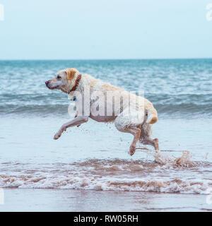 labrador retriever, yellow, in the sea - Stock Photo