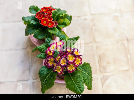 Primula Auricular Plants. Two colourful flower pots on a beige tile surface. Stock Image. - Stock Photo