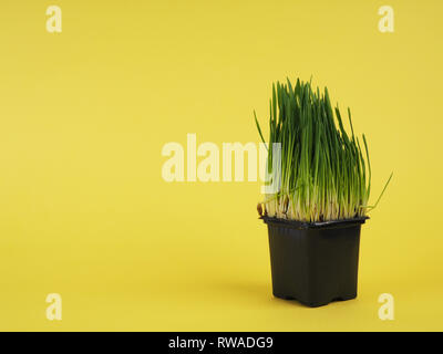 Bright green fresh grass sprouted in a plastic box on a yellow background. Horizontal view with copy space. - Stock Photo