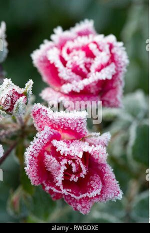botany, rose with band, Caution! For Greetingcard-Use / Postcard-Use In German Speaking Countries Certain Restrictions May Apply - Stock Photo