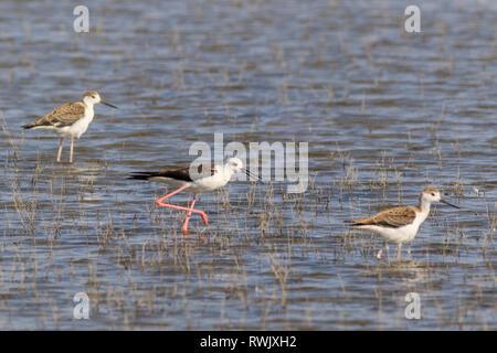juvenile black-winged stilt (Himantopus himantopus) in Danube Delta, Romania - Stock Photo
