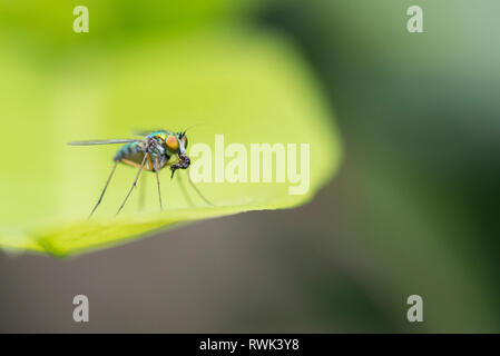 An Asilidae or robber fly, also called assassin flies eating an other insect. It is a great diptera predator - Stock Photo