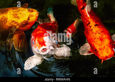 Large golden and yellow Koi carp feeding in a pond - Stock Photo