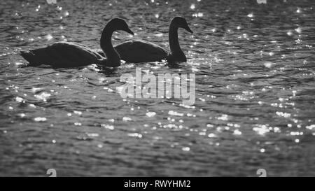 Mute Swan, (Cygnus olor), UK - side view portrait of a pair of swans with identical body shapes almost silhouetted on a shining sun-lit lake - Stock Photo