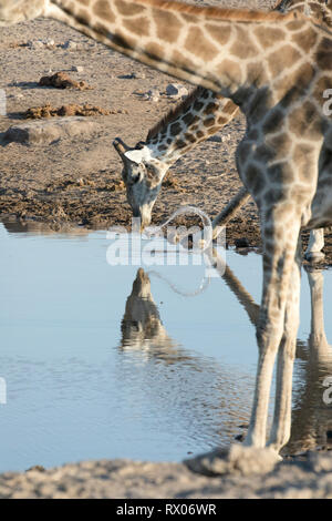 A Giraffe drinking at a water hole in Etosha national Park, Namibia. - Stock Photo