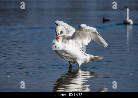 beautiful swan on the river, with its wings spread, cleansing its feathers - Stock Photo