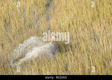 A red lechwe from the air in the Okavango Delta near chiefs island, Botswana. - Stock Photo