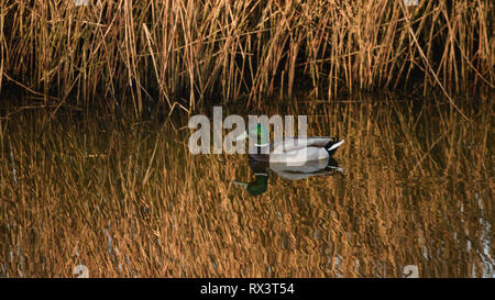 A male Mallard (Anas platyrhynchos) on the River Otter in east Devon, South West England, United Kingdom. - Stock Photo