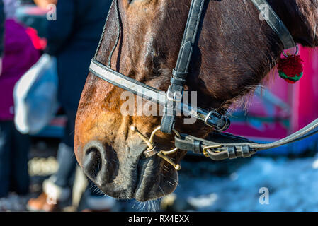 Horse head with bridle close up, visible bit, reins and noseband. - Stock Photo