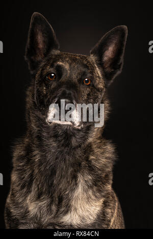 Portrait of a Dutch Shepherd dog, brindle coloring, on a black background - Stock Photo