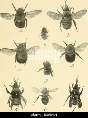Economic entomology for the farmer Economic entomology for the farmer and fruit-grower economicentomolo01smit Year: 1906  Fig. 473.   Our common bumble-bees.-a, Xylocopa virginica ; b, Bombus fervidus ; c, B. consimihs ; d B. virginicus ; e, B. americanorum (queen) ; /, B. fervidus; g, B. americanorum (worker), to show pollen m.ss on hind tibia; h, B. vagans; i, Apathus elatus. All somewhat more than natural size. - Stock Photo