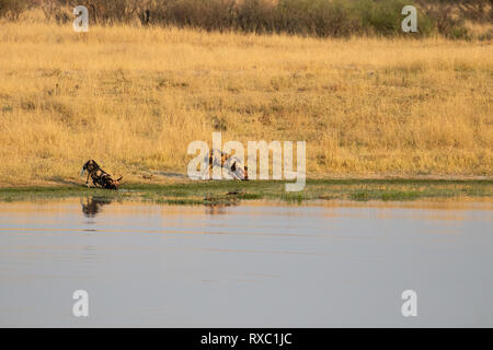A small pack of 3 wild dogs drinking after a successful hunt in Hwange National Park, Zimbabwe - Stock Photo