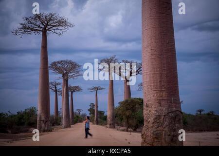 The Alley of the Baobabs, a group of baobab trees lining the road between Morondava and Belon'i Tsiribihina, Madagascar - Stock Photo