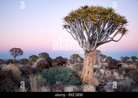 Quiver tree in the Quivertree forest Keetmanshoop, Namibia. - Stock Photo