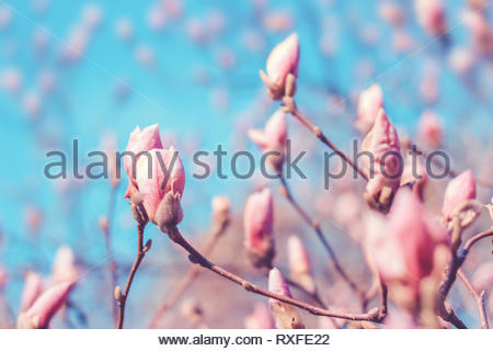 Pink magnolia tree flowers bud in spring. Nature floral blossoming background. Pastel pink and blue colors. - Stock Photo