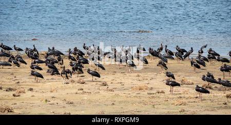 Flock of Abdim's stork (Ciconia abdimii) on sandbank on Victoria Nile river in Murchison Falls National Park, Northern Uganda, East Africa - Stock Photo