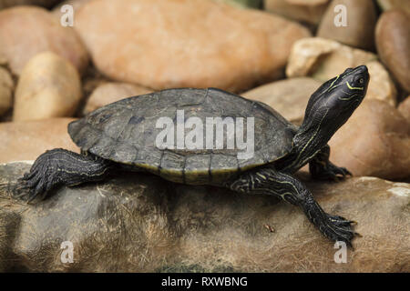 Florida red-bellied cooter (Pseudemys nelsoni), also known as the Florida redbelly turtle. - Stock Photo