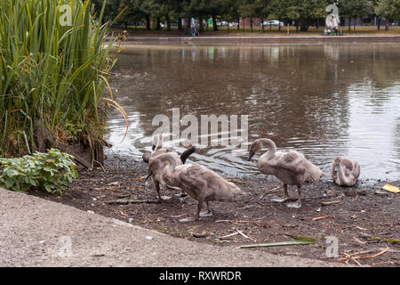 Swan Leads young Cygnets to another pond at night - Stock Photo