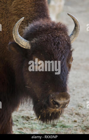 Plains bison (Bison bison bison), also known as the prarie bison. - Stock Photo