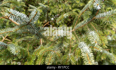 Fluffy fir tree brunch close up. Shallow focus. Christmas wallpaper concept. - Stock Photo