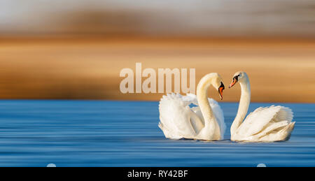 pair of swans on the spring lake - Stock Photo
