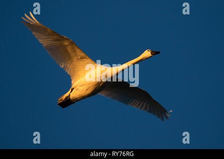 Tundra swan (Cygnus columbianus), Fir Island Farms Reserve, Skagit Wildlife Area, Washington - Stock Photo
