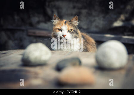 Sad dirty tricolor village cat sitting in the yard near the table with stones fortune teller - Stock Photo