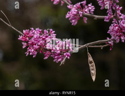 Eastern Redbud, Cercis canadensis, in flower in early spring, Florida. - Stock Photo
