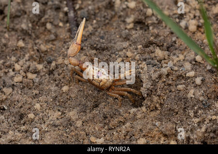 Male Gulf Coast Fiddler Crab, Uca panacea, feeding and displaying by its burrow on mudflats, Gulf of Mexico, Florida. - Stock Photo