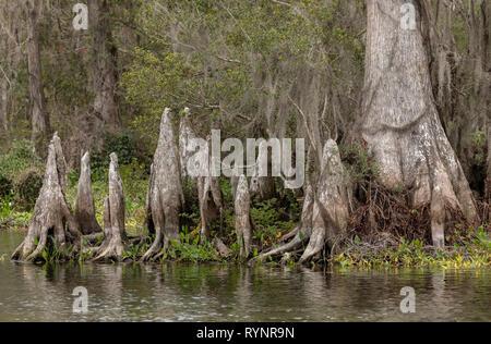Bald Cypress, Taxodium distichum, woodland in Lower Suwannee National Wildlife Refuge, West Florida. - Stock Photo