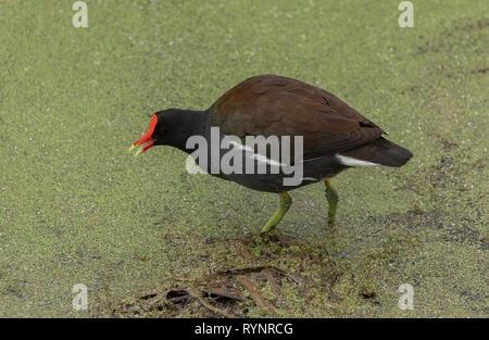 Common gallinule, Gallinula galeata, feeding on duckweed-covered pond, Florida. - Stock Photo